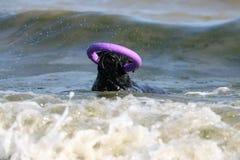 Hund beim Schwarzen Meer mit Abziehvorrichtung lizenzfreie stockfotos