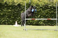 Hund belgisk herde Groenendael, lydnadbanhoppning med dumbbe Arkivfoton