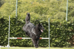 Hund belgisk herde Groenendael som hoppar över hopp Royaltyfri Foto