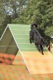 Hund belgisk herde Groenendael som kör ner vigheten-ram Arkivbild