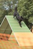 Hund belgisk herde Groenendael som kör ner vigheten-ram Fotografering för Bildbyråer