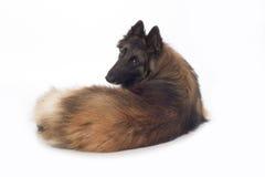 Hund belgisk herde Tervuren, ligga som tillbaka som ser isoleras Arkivbilder