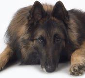 Hund belgisk herde Tervuren, slut upp huvudet Arkivbild