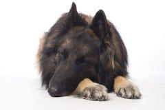 Hund belgisk herde Tervuren som sover, närbild Royaltyfria Foton
