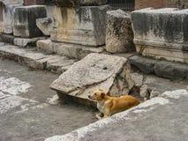 hund berömda vilda pompeii Arkivbild