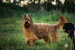 Hund Berger Des Brie Briard am Weg stockbild