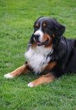 Hund - Bernhardiner lizenzfreies stockfoto