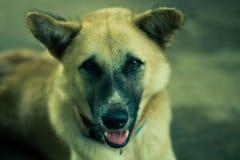 Hund betrachtet die Kamera Lizenzfreie Stockfotografie