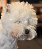 Hund Bichon Frise royaltyfri fotografi