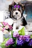 hund Biewer Terrier royaltyfri foto