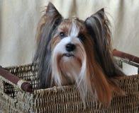 Hund Biewer Yorkshire Terrier Lizenzfreies Stockbild