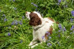 Hund bland blåklockor arkivfoton