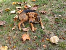 Hund bland höstsidor Royaltyfria Bilder
