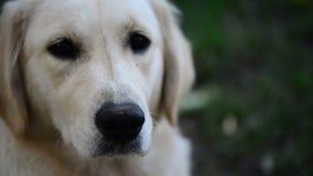 Hund blinzeln und traurig schauend stock video footage