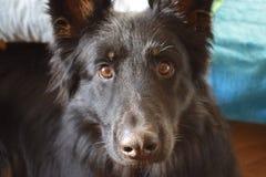 Hund bohemisk herde Arkivfoto