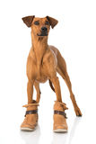 Hund with boots Royalty Free Stock Image