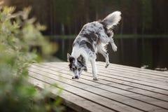 Hund border collie auf einem hölzernen Pier Lizenzfreie Stockbilder