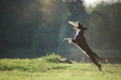 Hund border collie, das in der Natur spielt Lizenzfreie Stockfotos