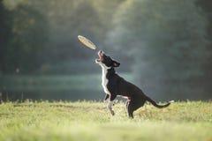 Hund border collie, das in der Natur spielt Lizenzfreies Stockfoto