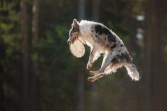 Hund border collie, das für ein Spielzeug springt stockbild
