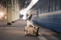 Hund Border collie an der Station, trifft sich Reise mit einem Haustier, stockfotos