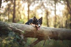 Hund border collie i träna fotografering för bildbyråer