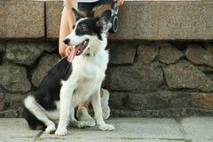 Hund border collie lizenzfreies stockbild