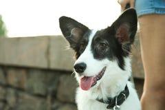 Hund border collie lizenzfreie stockbilder