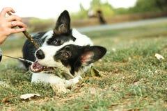 Hund border collie lizenzfreie stockfotografie