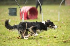 Hund Border collie som kör i hooperkonkurrens Royaltyfri Foto
