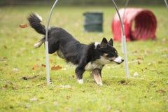 Hund Border collie som kör i hooperkonkurrens Arkivfoto