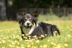 Hund Border collie som ligger i gräs med gula blommor Royaltyfria Bilder
