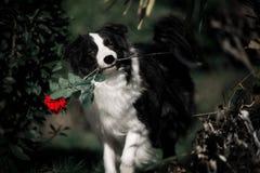 Hund border collie som rymmer en röd rosa blomma arkivfoto
