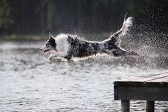Hund border collie springt in den Fluss Lizenzfreies Stockbild