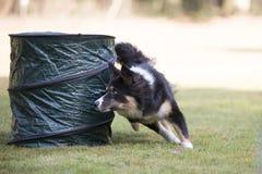 Hund Border collie, vighetutbildning Arkivbild