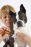 Hund Boston Terrier på veterinären Arkivbilder