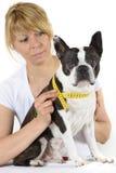 Hund Boston Terrier på veterinären fotografering för bildbyråer