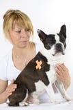 Hund Boston Terrier på veterinären arkivfoton