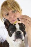Hund Boston Terrier på veterinären arkivfoto