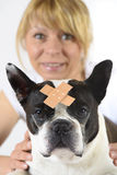 Hund Boston Terrier på veterinären royaltyfri bild
