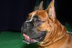 Hund - Boxer stockbild