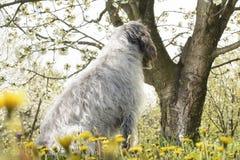 Hund bredvid det körsbärsröda trädet Royaltyfri Foto