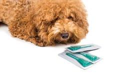 Hund bredvid medicin för fästing-, loppa- och luskontroll arkivfoton