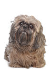 Hund Brown-Shih Tzu Stockfotografie