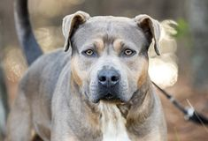 Hund Browns Pit Bull Terrier stockbilder
