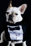 Hund, Bulldogge mit Kappe, Kleid und Gläser Stockbild