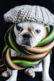 Hund, Bulldogge mit Kappe, Kleid und Gläser Stockbilder