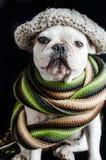 Hund, Bulldogge mit Kappe, Kleid und Gläser Stockfoto