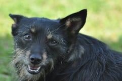 Hund byracka med tungan arkivbilder