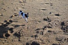 Hund-chihuaha Lizenzfreie Stockfotos